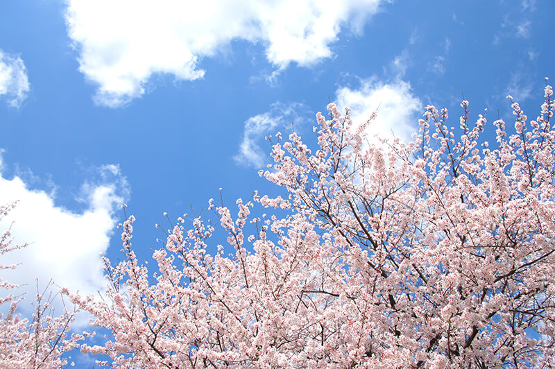 桜・お花見